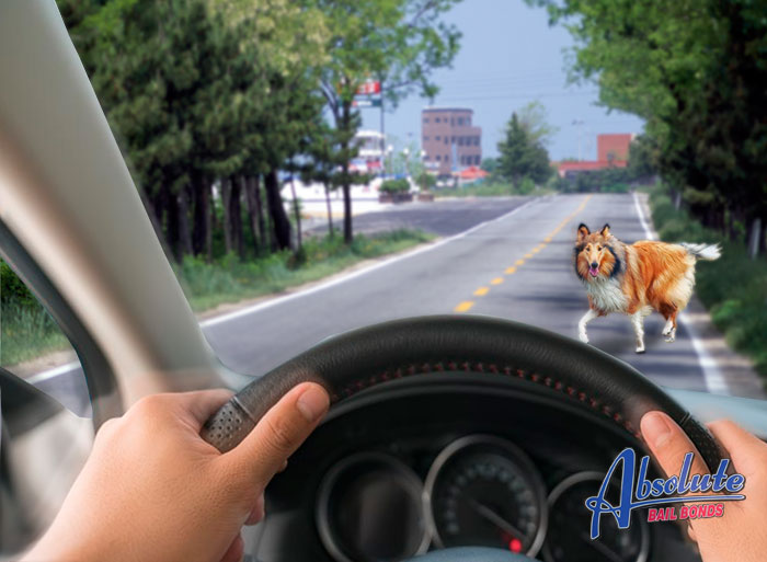 los angeles bailbondsman, mobile bail agents, animals crossing the road, fines for hitting an animal, hitting an animal on the road, hitting an animal and leaving, domesticated animal vs wild, what to do when you hit an animal, reporting an animal incident, keeping your pet under control, crash with an animal,